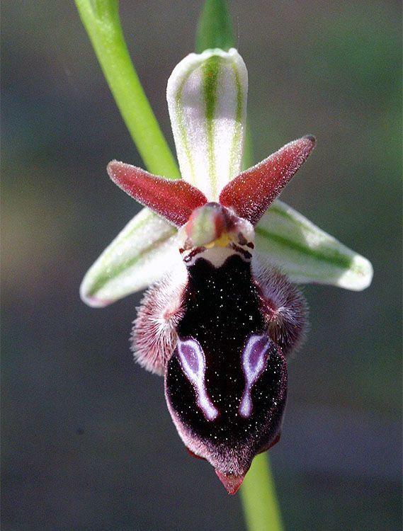 Ophrys straussii var leucotenia