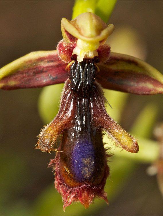 Ophrys regis-ferdinandii