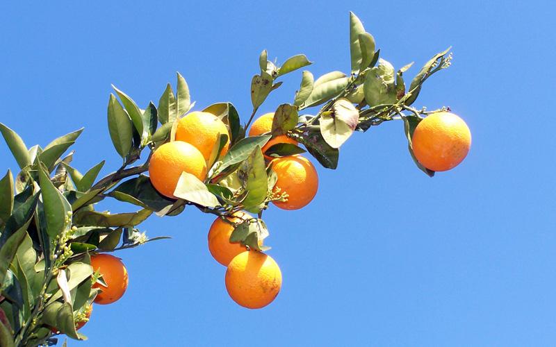 Χιώτικα πορτοκάλια